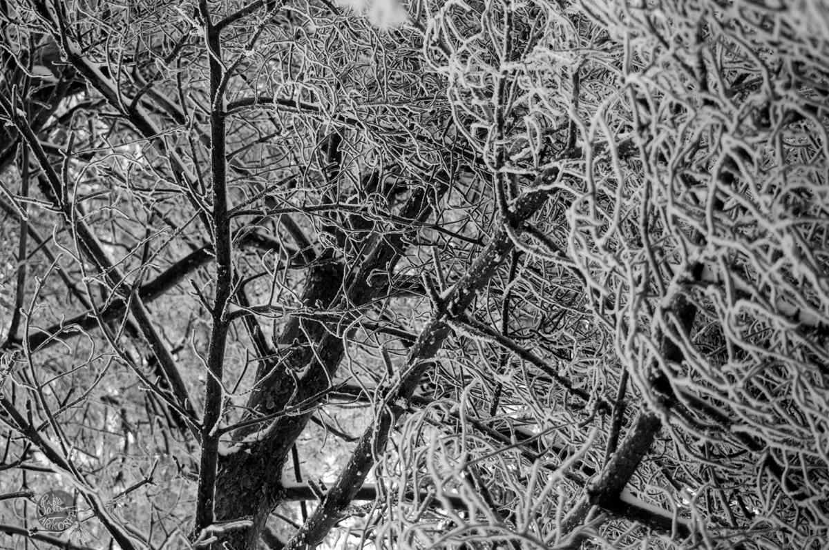 Pine / Mänty / MM194