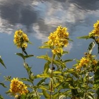 Yellow loosestrife / Ranta-alpi / Lysimachia vulgaris